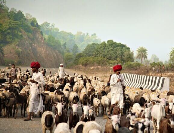 Leopard Safari with Rabari herdsmen