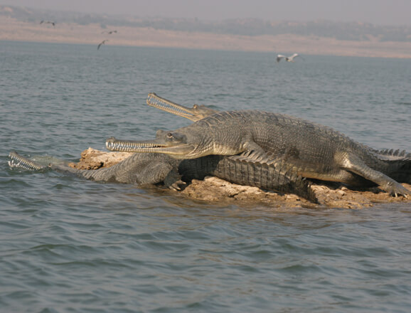 Chambal River Cruise