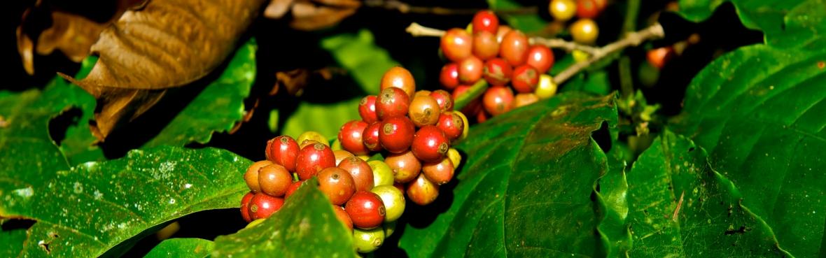 Coffee Trails