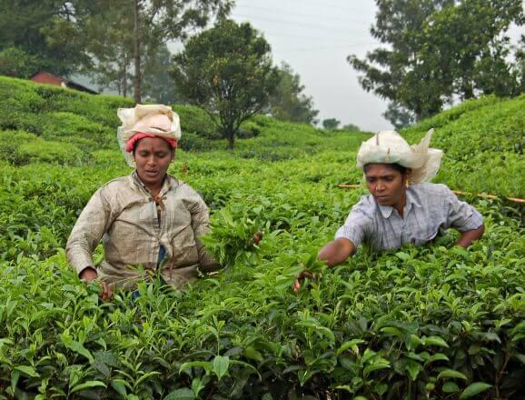 Munnar Tea Trail