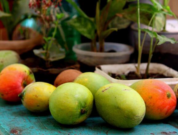 Fruit picking & mango tasting