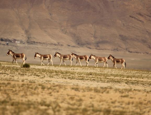 Wildlife at Tso Kar