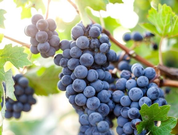 Wine Trails at Krsma